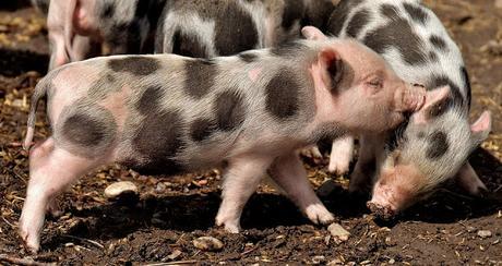 Image: Piglets, by Alexandra / München on Pixabay