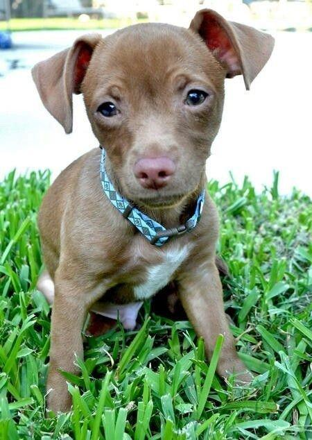 Pitbull Chihuahua Mix – 10 Amazing Facts About The Cute and Adorable Pit Crossbreed