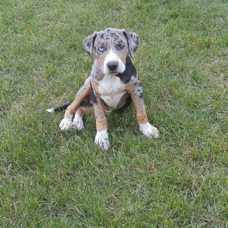 Catahoula Bulldog – Facts, Pictures and Amazing Temperament of  Bulldogge Catahoula Leopard Mix
