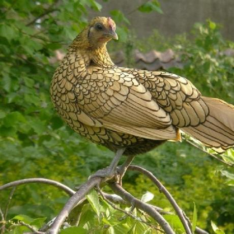 Sebright Chicken