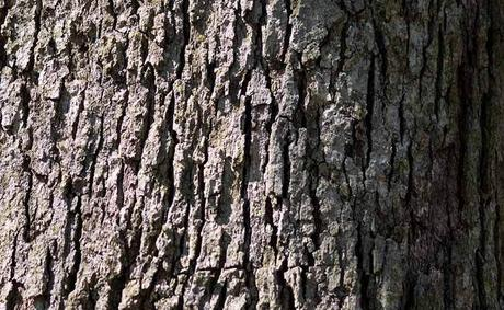 White Oak Bark: Benefits, Dosage and Side Effects