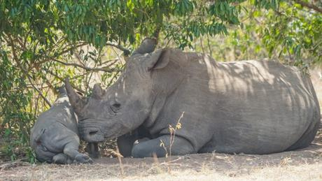 Ziwa Rhino Sanctuary is a Must Visit in Uganda