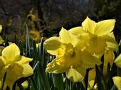 Host Golden Daffodils