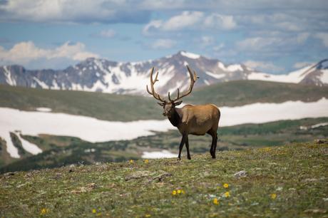 deer grass mountain snow blue sky animal wildlife horns mammal