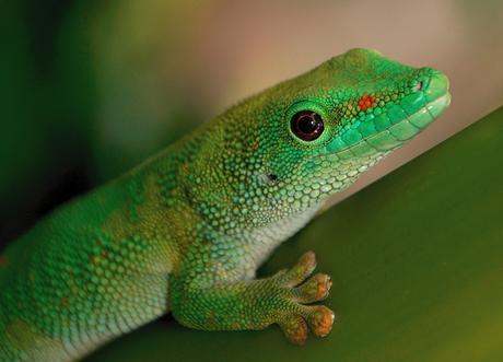 green gecko close up macro wildlife eyes animals reptile pet nature tropical lizard