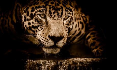 jaguar water stalking eyes menacing fearsome male focus wildlife animals jungle close up