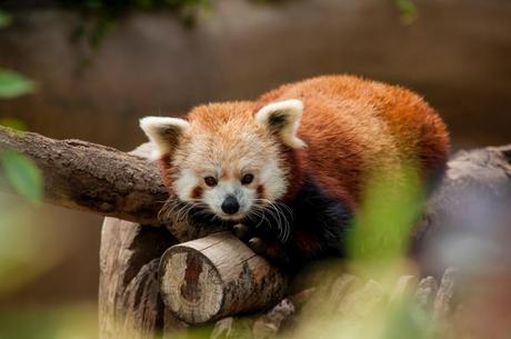 red panda animal wildlife tree branch wood nature plant