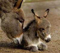 Bible Character: The donkey