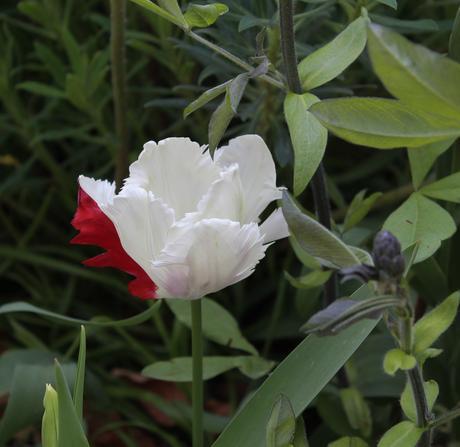 Six on Saturday 20th April – Tulips