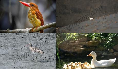 birding tour in sundarbans national park-min