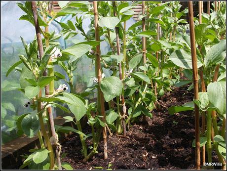 Planting Runner Beans