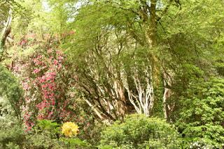 The Rhododendrons at Portmeirion