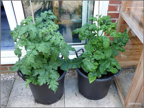Potting-up tomatoes