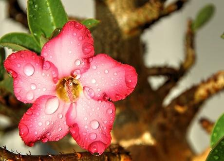 flower-pink-flowers-nature-garden-adenium
