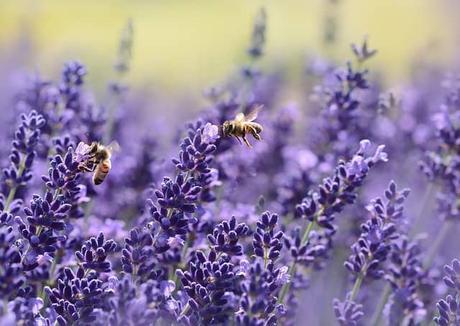 lavender-bee-summer-purple-garden