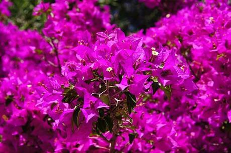 bougainvillea-flowers-purple