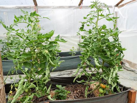 Lets bust a few myths about tomato leaf curl