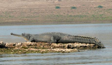 chambal-wildlife