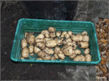 Harvesting new potatoes
