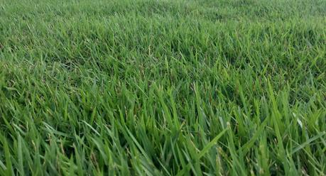 Choosing The Best Grass For Southern California