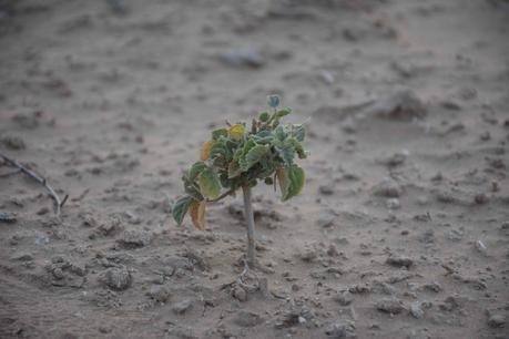drought-green-sapling-desert