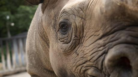 Rhinos to Rwanda: the largest ever transport of rhinos from Europe to Africa begins today