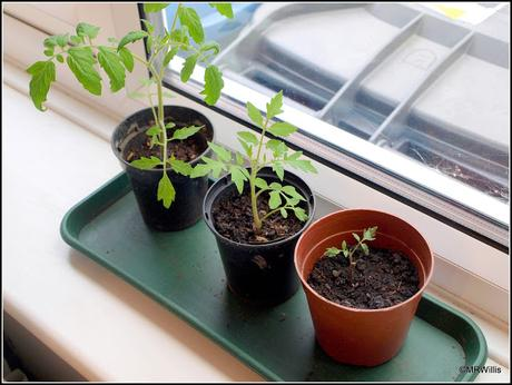Late-planted tomatoes
