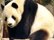 Featured Animal: Giant Panda Bear