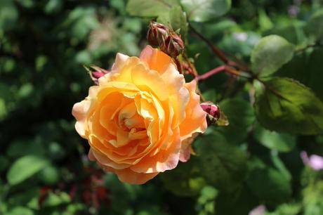 Six on Saturday 29th June 2019 – Roses
