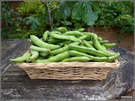 Harvesting potatoes and Broad Beans