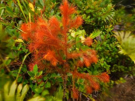 Rare red fern