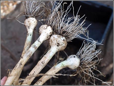 A trial harvest of Garlic