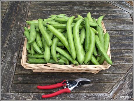 The last of the Broad Beans