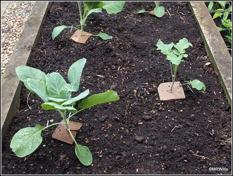 Planting Winter brassicas