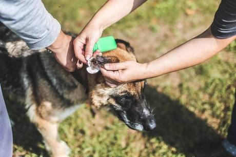 infection in the dog's ears
