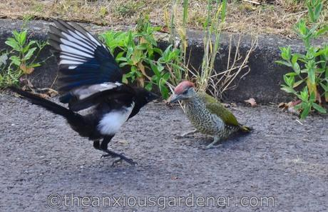 The Green Woodpecker And The Magpie
