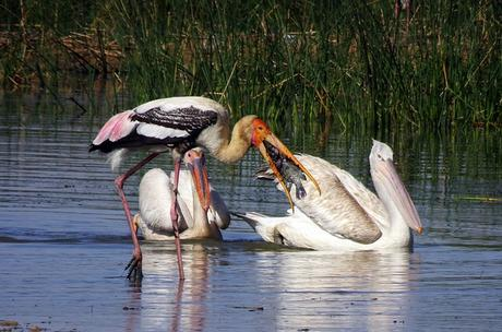bird-pelican-great-white-pelican