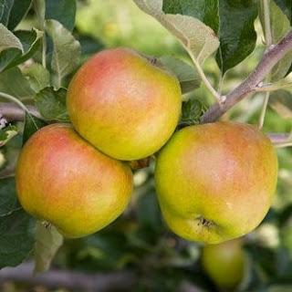 Sponsored post: Pruning apple trees, when is the right time?