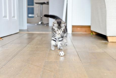 Introducing Henry Tudor - The First Week With Our New Kitten