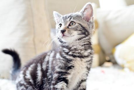 silver tabby male kitten