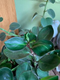 The growing Peperomia obsession....