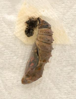 WHAT IS A CHRYSALIS? Learning about Butterflies