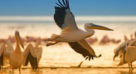 Enchanting Travels Kenya Tours White pelicans at Lake Nakuru, Kenya, Eastern Africa