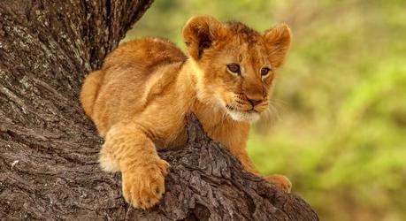 Lion King safari - see lion cubs
