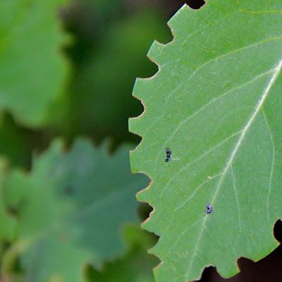 Lilac Leaf Munchers Revealed