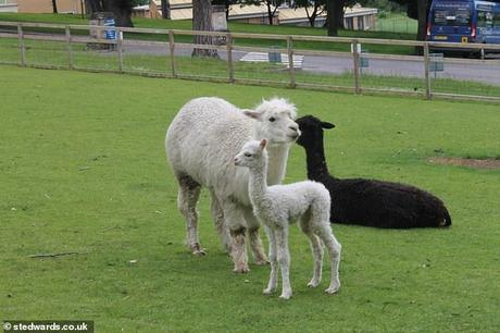 animals as pets ~  heard of Alpacas !!