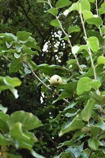 Treefollowing September 2019 - the solitary quince