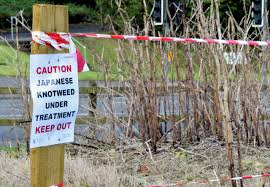 How to get rid of Japanese Knotweed?