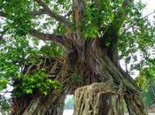 Peepul Trees Ross Island Andamans