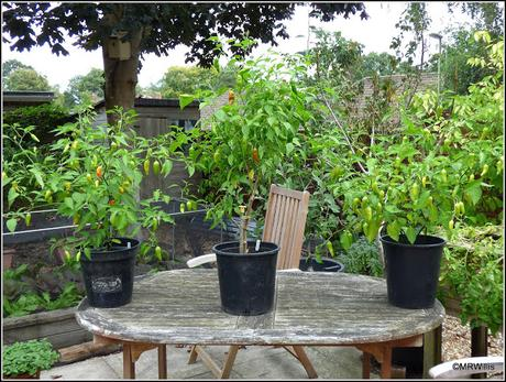 Does pinching-out chilli plants really help?